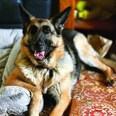 Rockstar German Shepherd